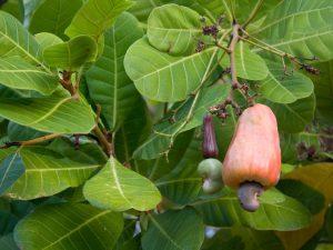 Raw Kešu Ořechy 500g - 2