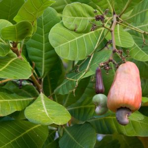CVIČINKA Raw Kešu ořechy 50g - 3